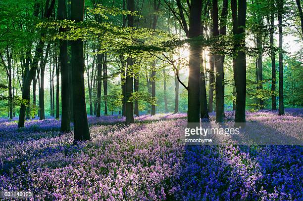 Bluebells in the countryside, Micheldever Woods, Hampshire, England, UK