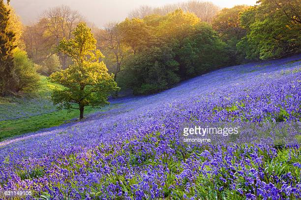 Bluebells in the countryside, minterne Magna, Dorset, England, UK
