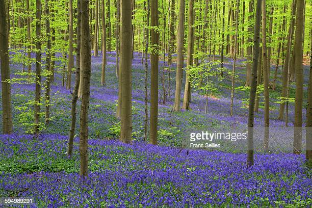 bluebells in the forest - frans sellies stock pictures, royalty-free photos & images