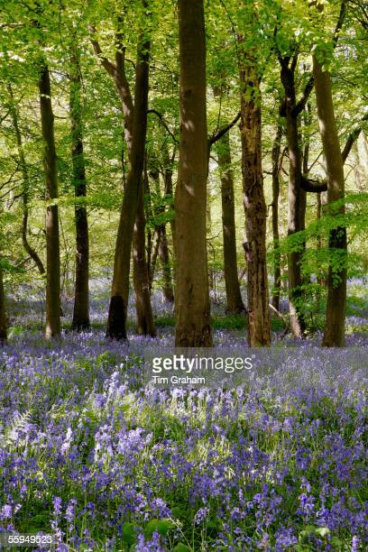 Bluebells in Woodland England