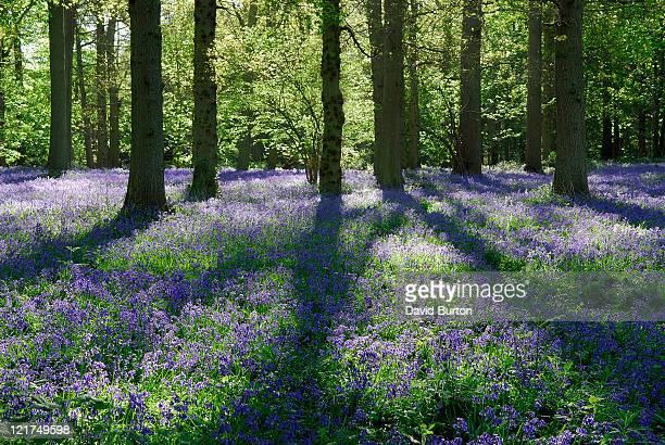 Bluebells (Hyacinthoides non scripta) in woodland glade