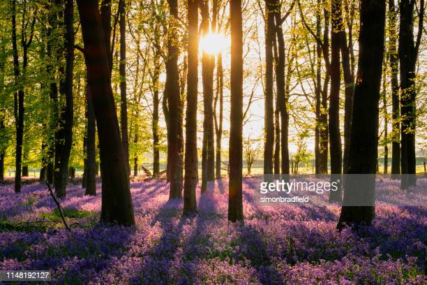 bluebells of buckinghamshire at dusk - buckinghamshire stock pictures, royalty-free photos & images