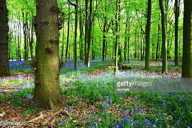 Bluebells of Sherwood Forest in Nottinghamshire