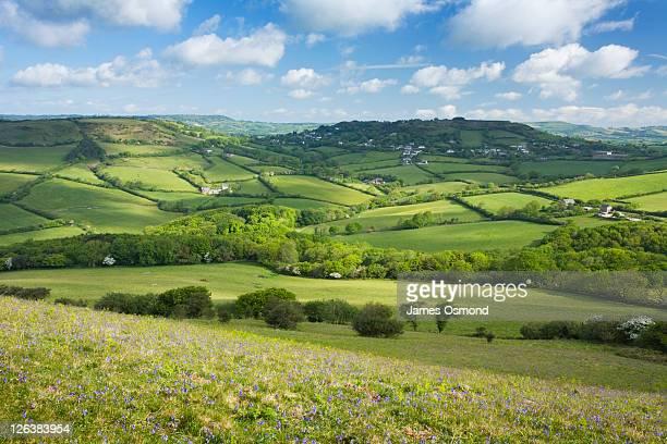 bluebells on golden cap looking inland towards morcombelake. dorset. england. uk. - niet gecultiveerd stockfoto's en -beelden