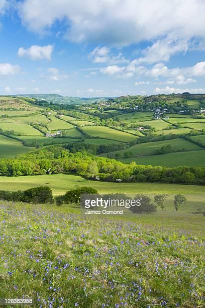 Bluebells on Golden Cap looking inland towards Morcombelake. Dorset. England. UK.