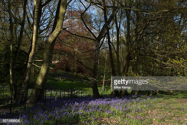 Bluebells on Hampstead Heath is a large ancient London park covering 320 hectares This grassy public space is one of the highest points in London...