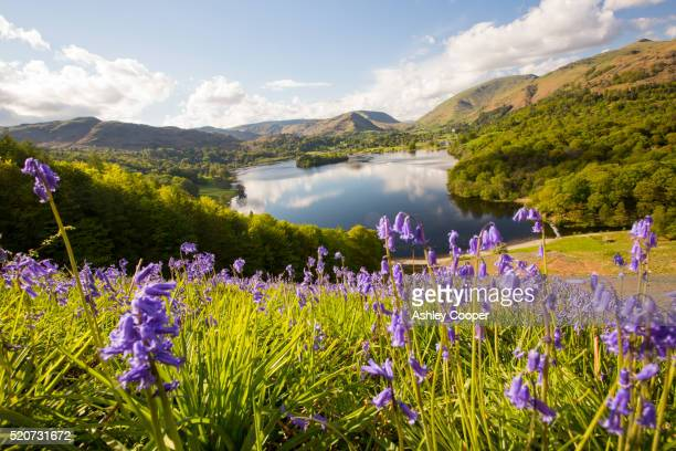bluebells on loughrigg terrace, lake district, uk. - bluebell stock pictures, royalty-free photos & images
