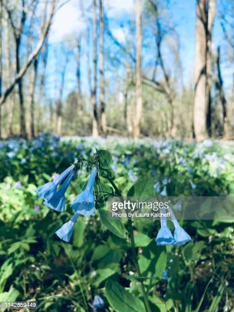 bluebells - laura woods stock pictures, royalty-free photos & images