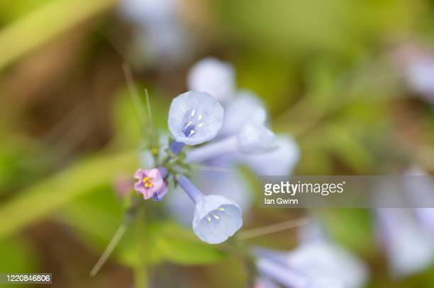 bluebells - ian gwinn stock pictures, royalty-free photos & images
