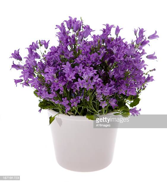bluebells - pot plant stock pictures, royalty-free photos & images