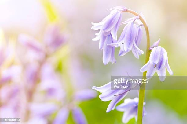 bluebells - bluebell stock pictures, royalty-free photos & images