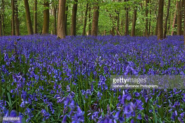 bluebells - bluebell wood stock pictures, royalty-free photos & images