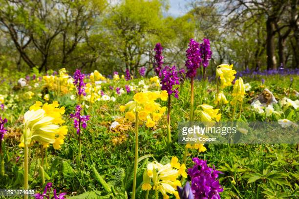 bluebells, primroses, cowlsips and early purple orchids on limestone pavement above austwick in the yorkshire dales, uk. - limestone pavement stock pictures, royalty-free photos & images