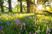 BlueBells, Springtime Wildflowers.