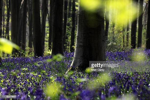 Bluebells start to bloom in the spring sunshine in West Woods near Marlborough on April 18, 2011 in Wiltshire, England. Despite one of the coldest...