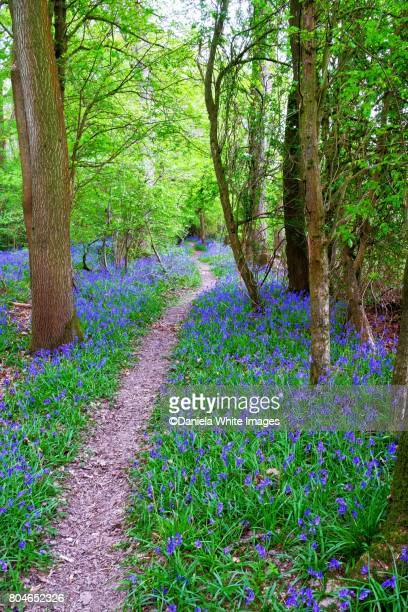 bluebell's wood - bluebell wood stock pictures, royalty-free photos & images