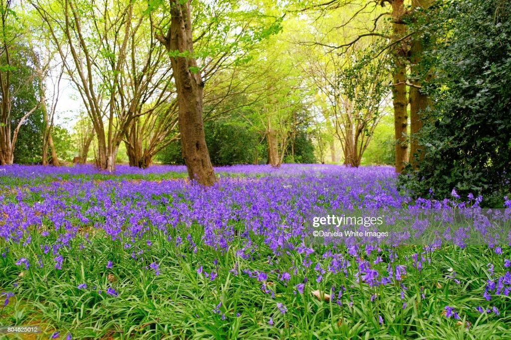 Bluebell's woods : Stock Photo