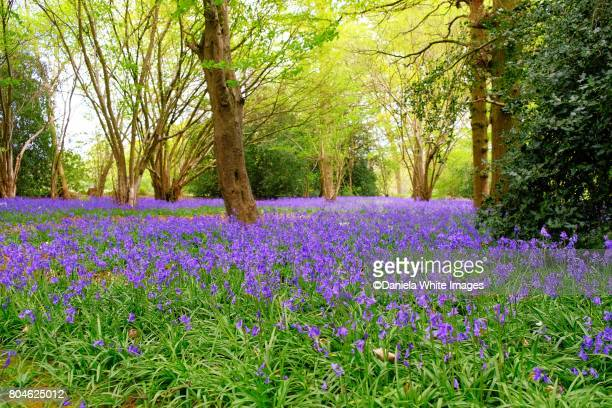 bluebell's woods - bluebell stock pictures, royalty-free photos & images