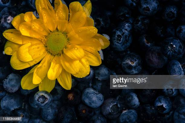 blueberries and yellow daisies abstract - ian gwinn stock photos and pictures