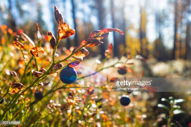 Blueberries growing in forest