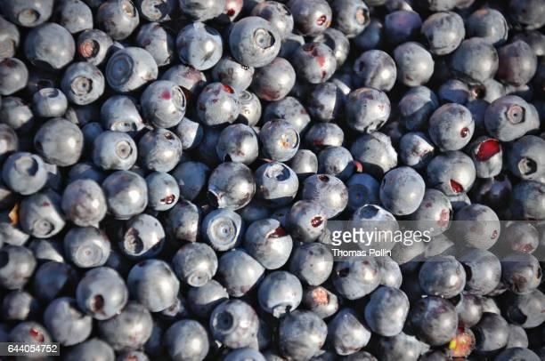 Blueberries harvest