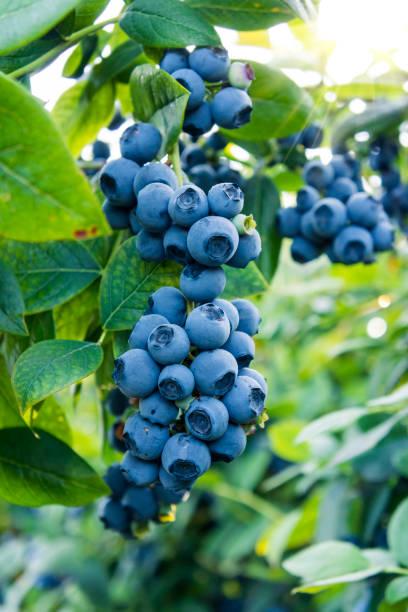 blueberries ready for picking - 藍莓 個照片及圖片檔