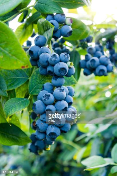 blueberries ready for picking - bush stock pictures, royalty-free photos & images