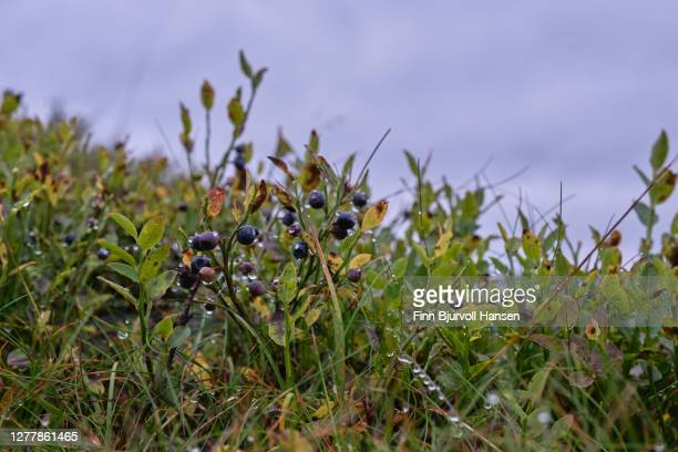 blueberries with waterdrops agains a gray sky - finn bjurvoll stock pictures, royalty-free photos & images