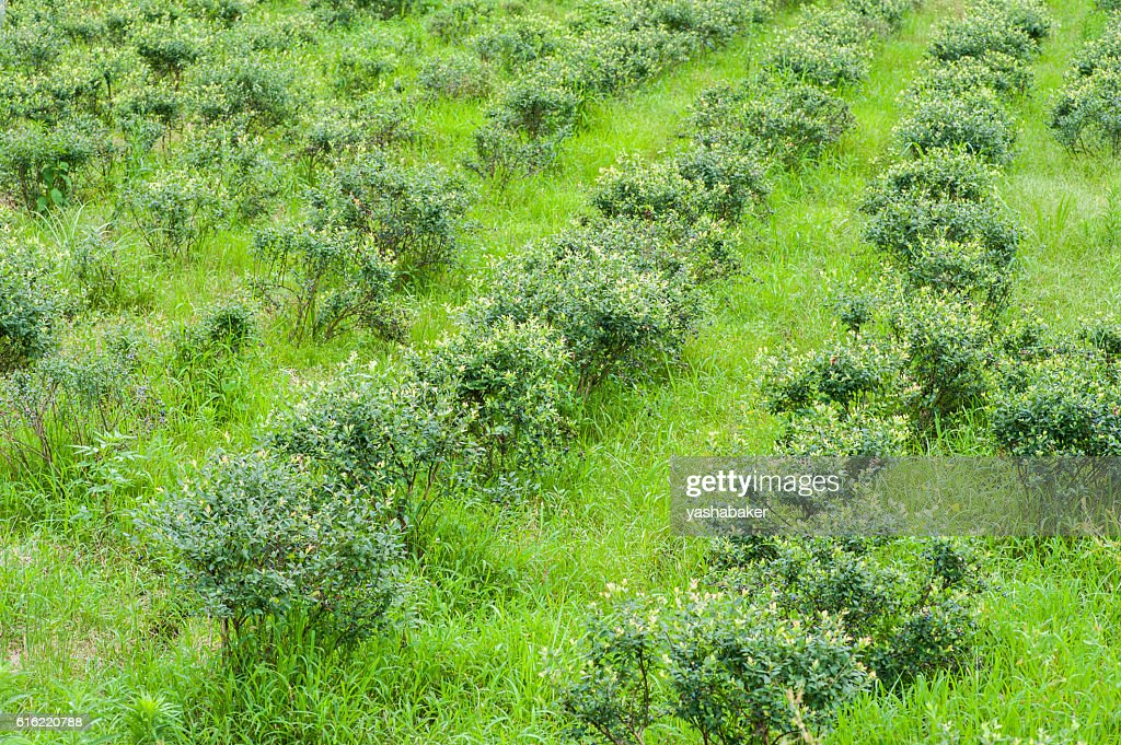 Blueberriy bushes on the farm in nature outdoors : Stock Photo