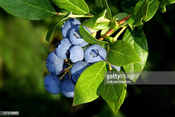 blueberry bunch - cultivated stock pictures, royalty-free photos & images