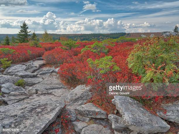 blueberry bushes and cumulus clouds - monongahela national forest stock photos and pictures