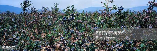 blueberry bushes ready for harvest - timothy hearsum fotografías e imágenes de stock