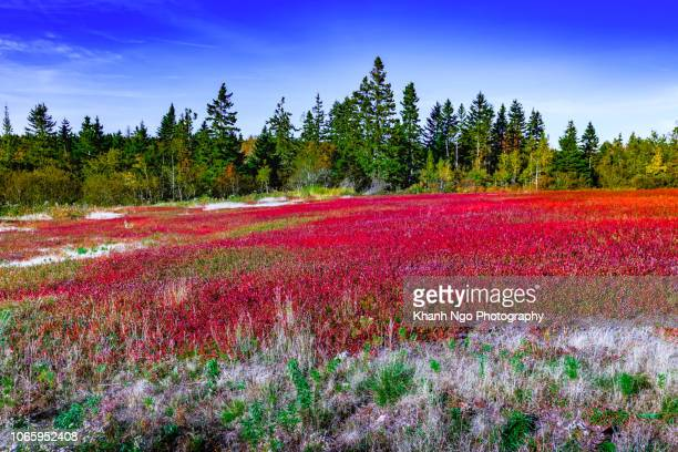 blueberry field in new brunswick, canada - moncton stock photos and pictures
