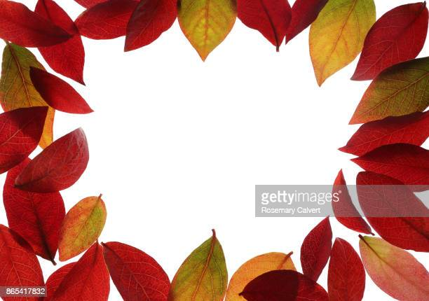 Blueberry leaves in bright autumn colour as border.