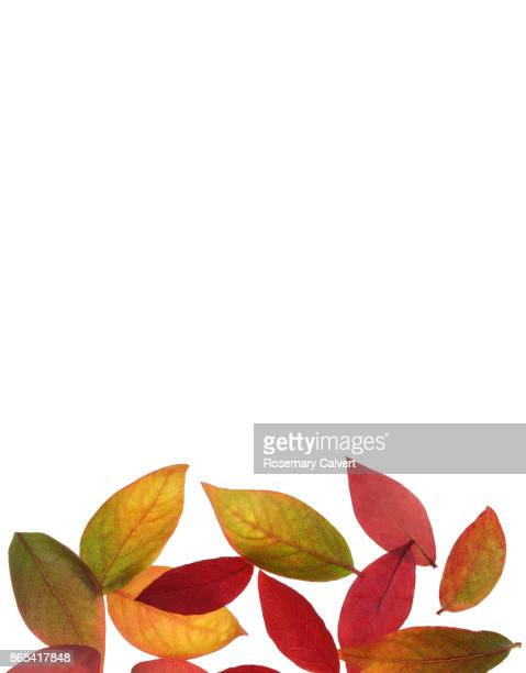 Blueberry leaves in pile in autumn, white copy space.