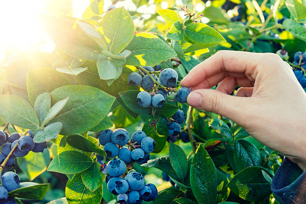 blueberry picking in early morning - 藍莓 個照片及圖片檔