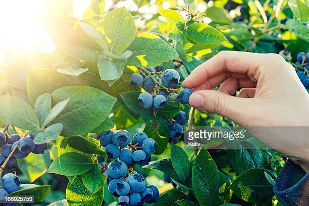 blueberry picking in early morning - bush stock pictures, royalty-free photos & images