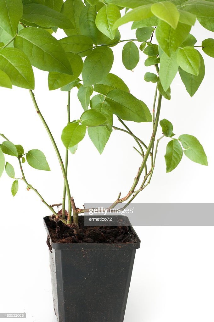 blueberry plant with pot and roots : Stock Photo