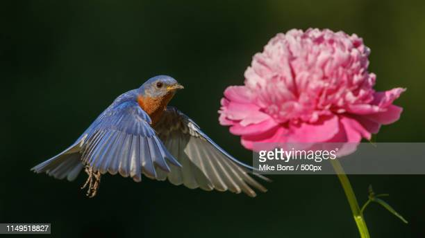 bluebird in flight - eastern bluebird stock pictures, royalty-free photos & images
