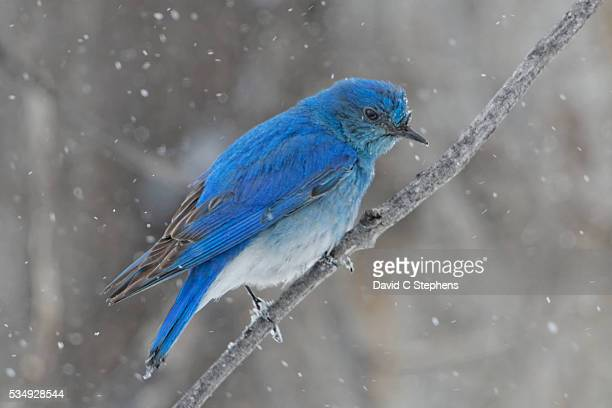 Bluebird In Snow With Snowflakes Falling