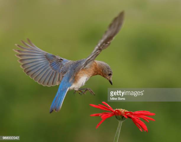 bluebird in-flight - eastern bluebird stock pictures, royalty-free photos & images