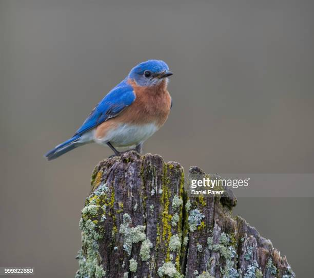 bluebird on a post... - eastern bluebird stock pictures, royalty-free photos & images