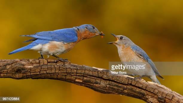 bluebird pair - eastern bluebird stock pictures, royalty-free photos & images
