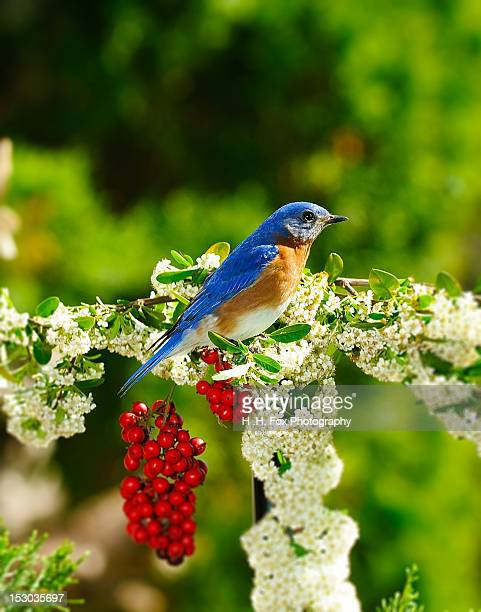 Bluebird perched on branch with white flowers