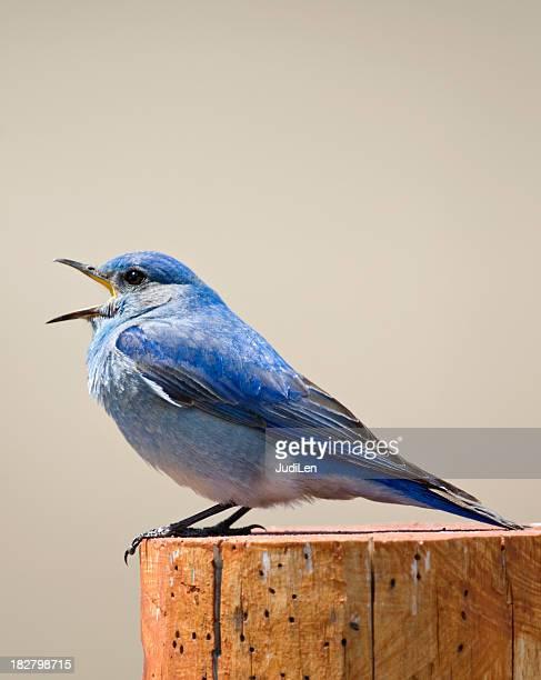 Bluebird singing