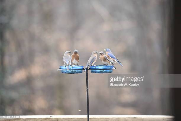 Bluebirds eating at a feeder