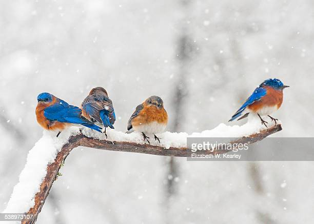 bluebirds on snowy branch - eastern bluebird stock pictures, royalty-free photos & images