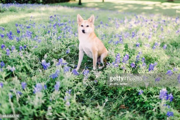 Bluebonnet Field Dog Portraiture