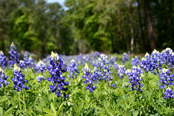 Bluebonnet field in spring flowers close up no people texas photo id 157169541 mightylinksfo