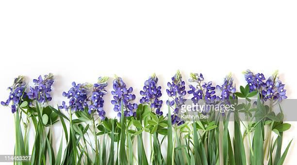 Bluebonnet Flower Border